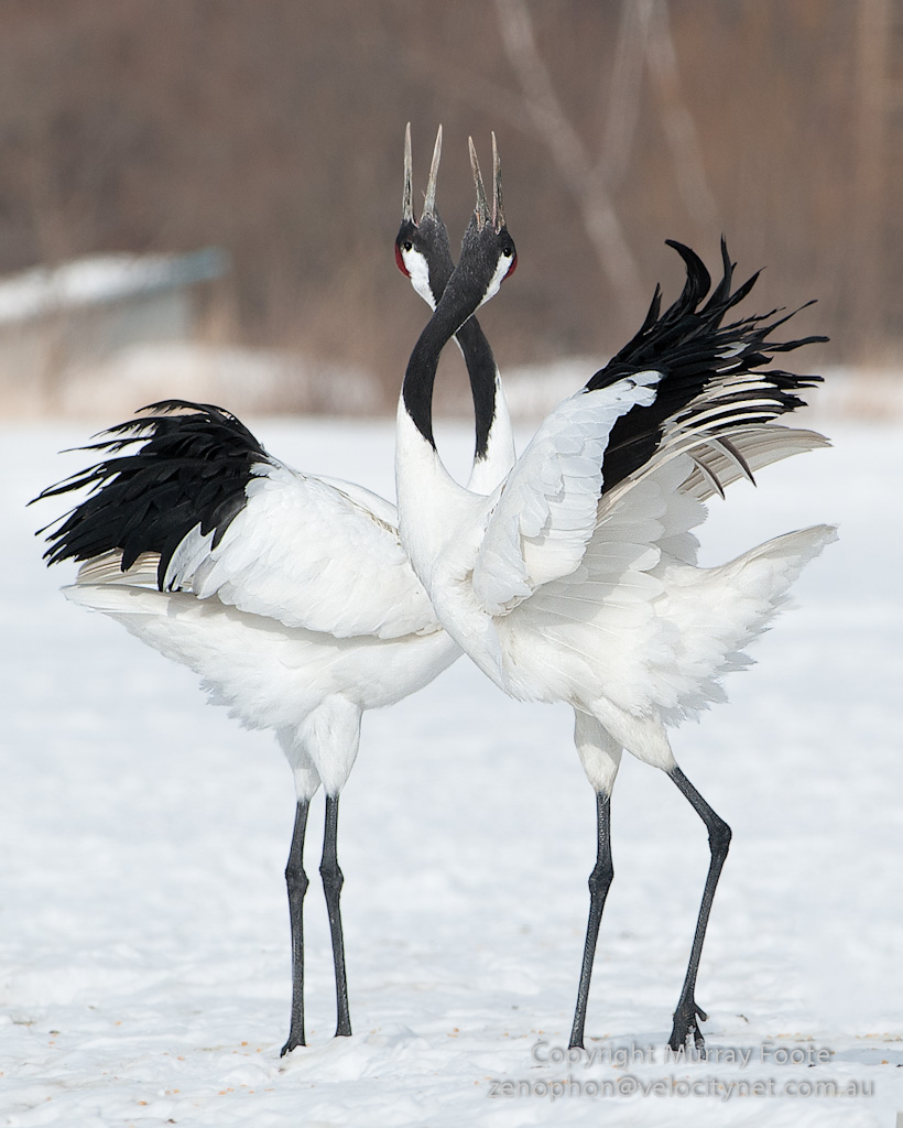 red crowned cranes murray foote