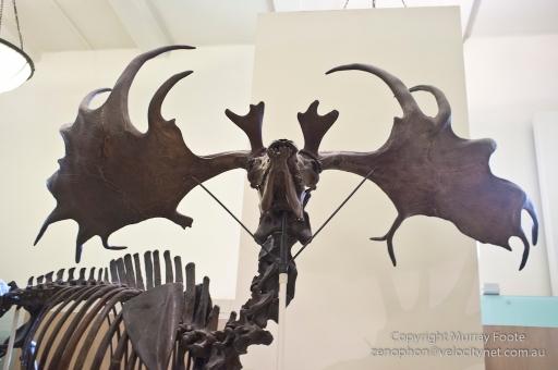 Megaloceros giganteus (Irish Elk), 11 thousand years ago, regrew antlers each year.