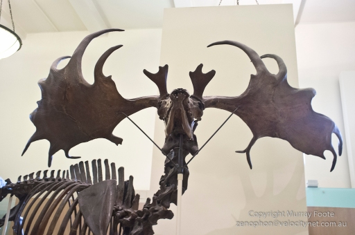 Megaloceros giganteus (Irish Elk), 11 thousand years ago, regrew antlers each year.