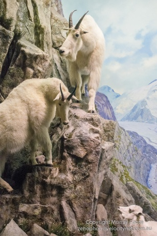 New York, Mountain goats