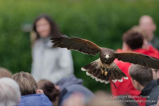 ? Hawk