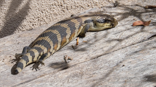 Baby blue-tongued lizard