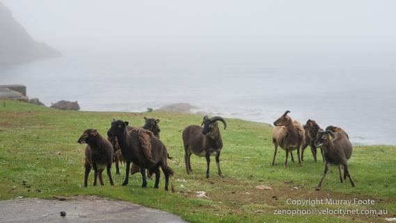 Hebrides, Landscape, Photography, Scotland, Soay sheep, St Kilda, Travel, Seascape, Wildlife