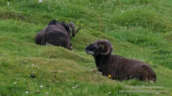 Hebrides, History, Landscape, Photography, Scotland, Soay sheep, St Kilda, Travel