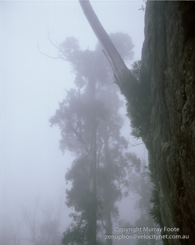 Mt Haughton Tree on Cliff in Fog 6 A3+