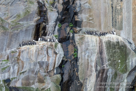 Guillemots, Hebrides, History, Landscape, Nature, Photography, Scotland, seascape, St Kilda, Travel