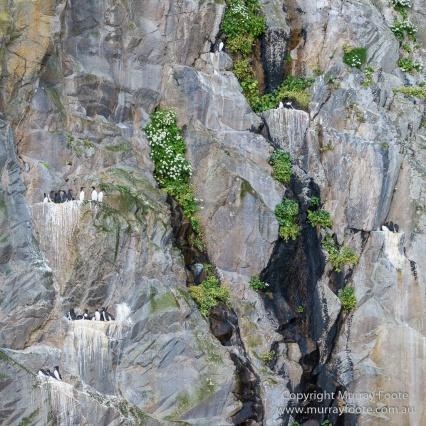 Guillemots, Hebrides, History, Landscape, Nature, Photography, Scotland, seascape, St Kilda, Travel