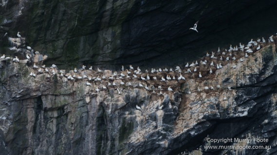 gannets, Hebrides, History, Landscape, Nature, Photography, Scotland, seascape, St Kilda, Travel, Wildlife
