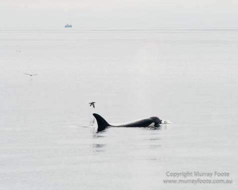 Hebrides, Nature, Photography, Scotland, seascape, Travel, Wildlife, Orcas, Killer whales