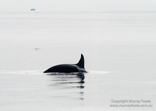 Hebrides, Nature, Photography, Scotland, seascape, Travel, Wildlife, Orcas, Killer whales