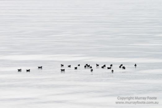 Hebrides, Nature, Photography, Scotland, seascape, Travel, Wildlife, Ringed plovers