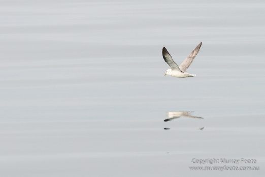 Hebrides, Nature, Photography, Scotland, seascape, Travel, Wildlife, Common gull