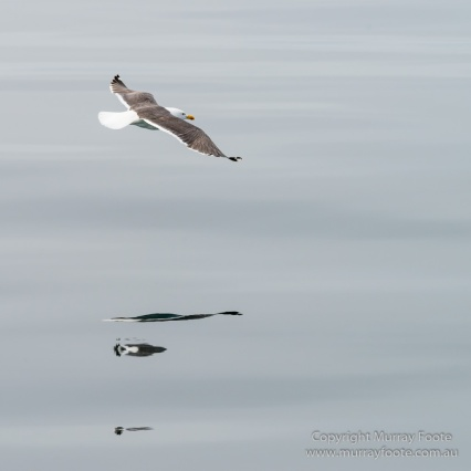 Hebrides, Nature, Photography, Scotland, seascape, Travel, Wildlife, Lesser black-backed gull