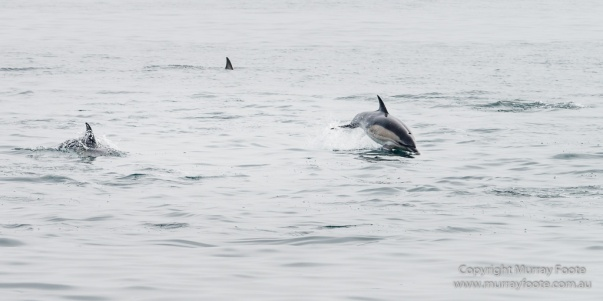 Hebrides, Nature, Photography, Scotland, seascape, Travel, Wildlife, Dolphins