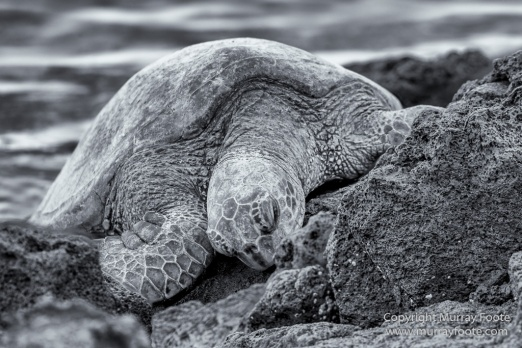 Archaeology, Black and White, Green Turtles, Hawaii, Kilauea, Landscape, Lava, Monochrome, Nature, Photography, Pu'uhonua o Honaunau, The Big Island, Travel, Waipio Bay, Wildlife