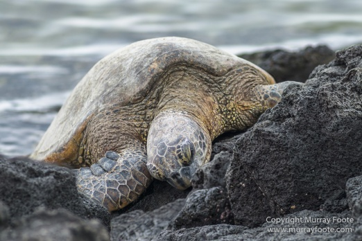Archaeology, Green Turtles, Hawaii, History, Landscape, Nature, Photography, Place of Refuge, Pu'uhonua o Honaunau, seascape, The Big Island, Travel, Wildlife