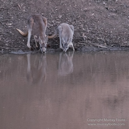 Australia, Boolcoomatta, Kangaroos, Landscape, Night Photography, Photography, South Australia, Travel