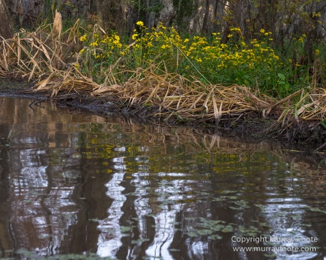 Bayou, Alligator, Landscape, Mississippi River, Nature, New Orleans, Photography, Travel, USA, Wilderness, Wildlife