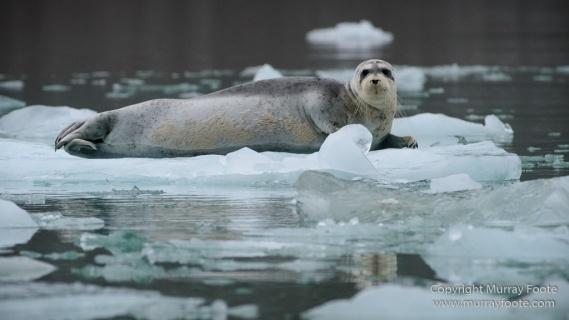Bearded seal, Glacier, Ivory Gull, Kittiwake, Nature, Photography, Polar Bears, Reindeer, seascape, Spitsbergen, Tinayrebukta, Travel, Wilderness, Wildlife