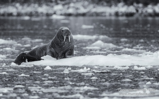 Bearded seal, Black and White, Blue whale, Glacier, Harbour Seals, Landscape, Monochrome, Photography, Polar Bears, seascape, Spitsbergen, Travel, Wilderness, Wildlife