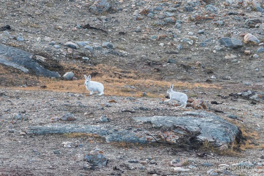 Archaeology, Bear Islands, Greenland, Icebergs, Inuit, Landscape, Nature, Photography, Arctic Hare, Musk Ox, Scoresby Sund, seascape, Syd Kap, Travel, Wilderness