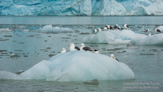 Black guillemot, Glacier, Kittiwake, Lilliehöökbreen, Nature, Photography, seascape, Spitsbergen, Travel, Wilderness, Wildlife
