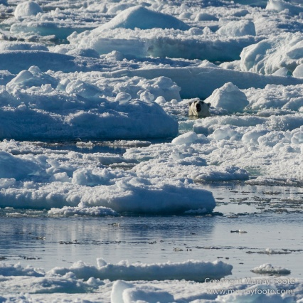 Greenland, Icebergs, Nature, Photography, Polar Bears, seascape, Spitsbergen, Travel, Wilderness, Wildlife