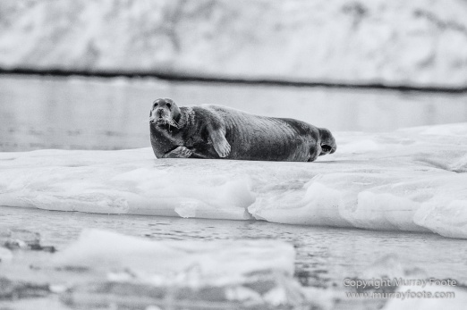 Bearded seal, Black and White, Huskies, Icebergs, Ittoqqortoomiit, Landscape, Monochrome, Musk Ox, Photography, seascape, Travel, Wilderness, Wildlife