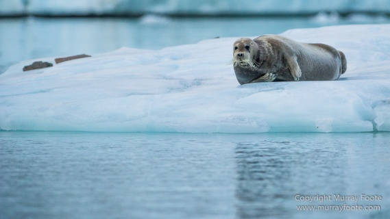 Alpefjord, Bearded seal, Greenland, Landscape, Nature, Photography, seascape, Travel, Wilderness, Wildlife