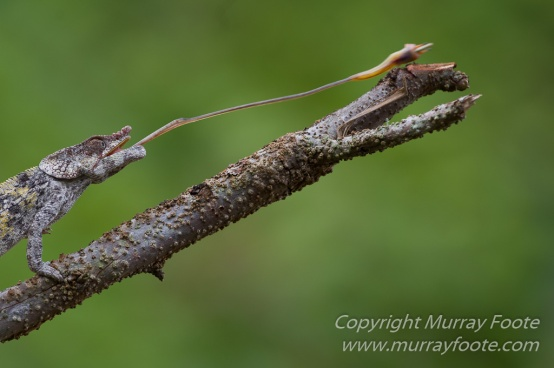 Andasibe, Chameleons, Gecko, Landscape, Lemurs, Madagascar, Mantadia, Photography, Travel, Wildlife8