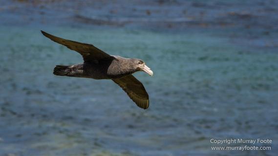 Cara cara, Falklands War, Giant Petrel, Imperial Cormorant, Landscape, Nature, Penguins, Photography, Rockhopper Penguins, Skua, Travel, Turkey vultures, Wildlife