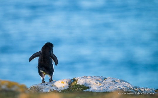 Dolphin Gulls, Elephant seals, Imperial Cormorant, Kelp Geese, Landscape, Magellenic Penguin, Nature, Penguins, Photography, Rockhopper Penguins, Silvery Grebe, Steamer duck, Travel, Wildlife