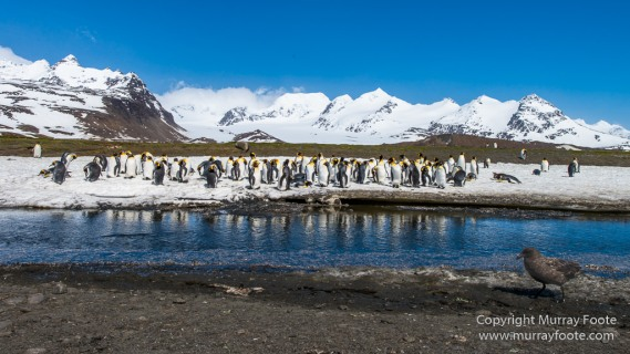 Antarctica, Fur seal, Gentoo Penguins, Giant Petrel, Grey-headed albatross, Landscape, Nature, Photography, seascape, South Georgia, Travel, Wilderness, Wildlife