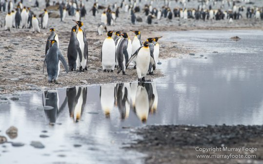 Antarctica, Chinstrap penguins, Elephant seals, Infrared, King Penguins, Landscape, Macro, Nature, Photography, seascape, South Georgia, Travel, Wilderness, Wildlife