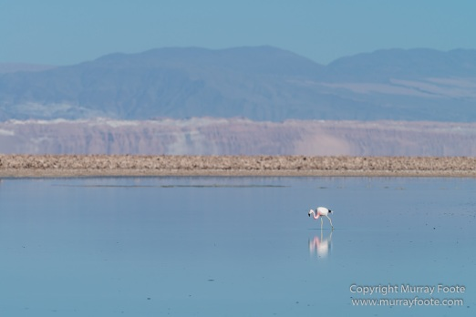 Atacama Desert, Chile, Flamingo, Lago de Tara, Laguna Chaxa, Laguna Miñiques, Laguna Miscanti, Landscape, Nature, Photography, Salar de Tara, Toconao, Travel, Wilderness, Wildlife