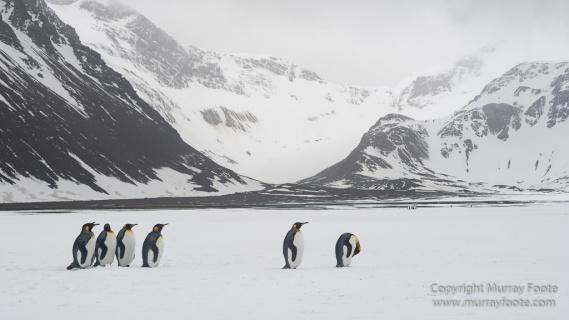 Antarctica, Fur seal, Gentoo Penguins, Giant Petrel, Grey-headed albatross, Landscape, Nature, Photography, seascape, South Georgia, Travel, Wilderness, Wildlife