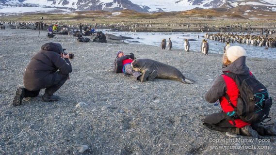 Antarctica, Elephant seals, Gold Harbour, Landscape, Nature, Photography, seascape, South Georgia, Travel, Wilderness, Wildlife