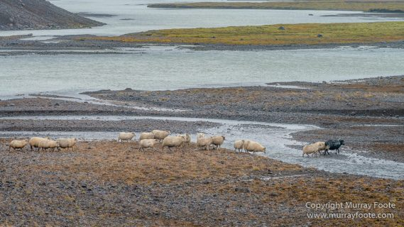 Architecture, Hellisfjall, Highlands, Horses, Iceland, Kerlingarfjöll, Landscape, Nature, Photography, Sheep, Travel, Wilderness