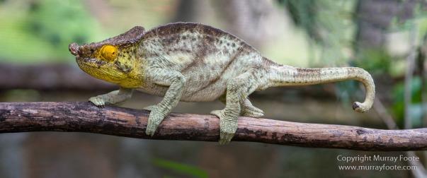 Chameleons, Madagascar, Marozevo, Nature, Peyrieras Nature reserve, Photography, Travel, Wilderness, Wildlife
