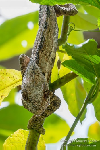 Chameleons, Madagascar, Marozevo, Nature, Peyrieras Nature reserve, Photography, Travel, Wilderness, Wildlife