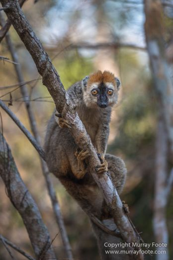 Drongo, Fossa, Gecko, Iguana, Kirindy, Landscape, Lemurs, Madagascar, Morondava, Nature, Photography, Red fronted lemur, Travel, Wildlife
