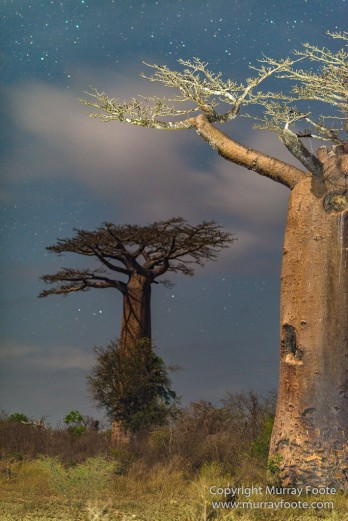 Avenue of the Baobabs, Baobabs, Landscape, Madagascar, Morondava, Nature, Photography, Travel, Wildlife