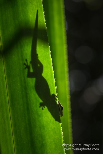 Day Gecko, Gecko, Indri, Landscape, Lemurs, Madagascar, Mantadia, Nature, Photography, Travel, Wilderness, Wildlife