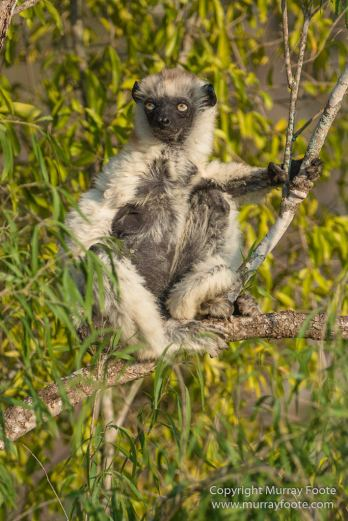 Berenty, Landscape, Madagascar, Nature, Photography, Spiny Forest, Travel, Verraux's Sifaka, Wildlife