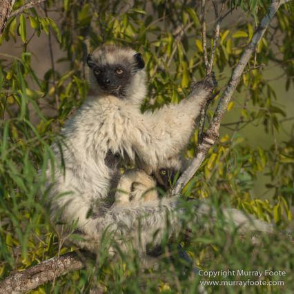 Berenty, Landscape, Madagascar, Nature, Photography, Spiny Forest, Travel, Verraux's Sifaka, Wildlife