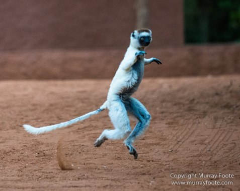 Berenty, Chameleons, Landscape, Macro, Madagascar, Nature, Photography, Ringtailed Lemur, Sakalava weavers, Spiny Forest, Travel, Verraux's Sifaka, Wildlife