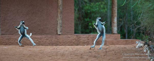Berenty, Chameleons, Landscape, Macro, Madagascar, Nature, Photography, Ringtailed Lemur, Sakalava weavers, Spiny Forest, Travel, Verraux's Sifaka, Wildlife