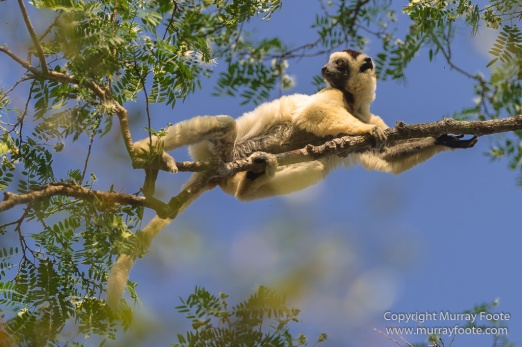 Birds, Kirindy, Landscape, Lemurs, Madagascar, Nature, Photography, Travel, Verraux's Sifaka, Wildlife