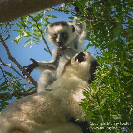 Birds, Kirindy, Landscape, Lemurs, Madagascar, Nature, Photography, Travel, Verraux's Sifaka, Wildlife