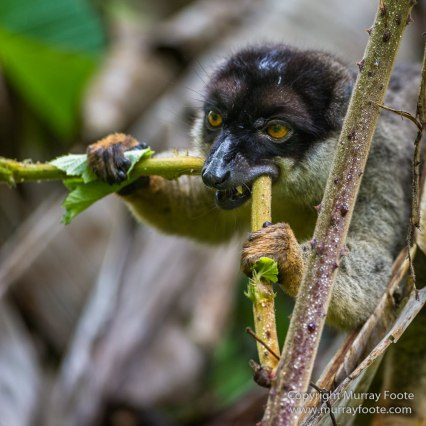 Andasibe, Boa, Gecko, Giraffe-necked Weevil, Indri, Landscape, Lemurs, Madagascar, Nature, Photography, Sparrow-Hawk, Travel, Wilderness, Wildlife